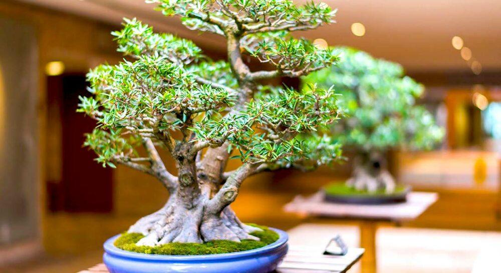 Бонсай: история и особенности выращивания карликовых деревьев