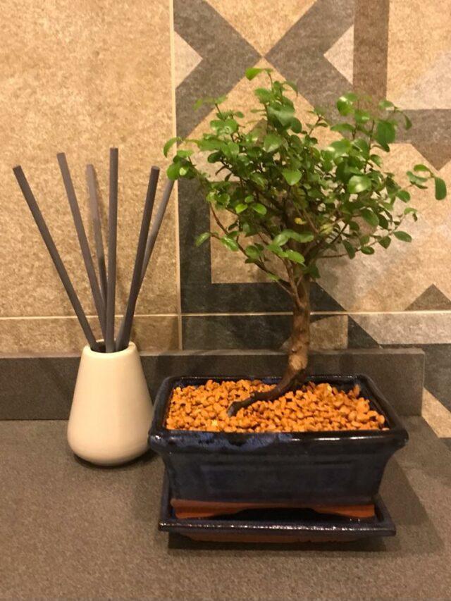 Сагереция чайная 30 см